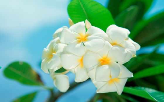 цветы, белые, красивые