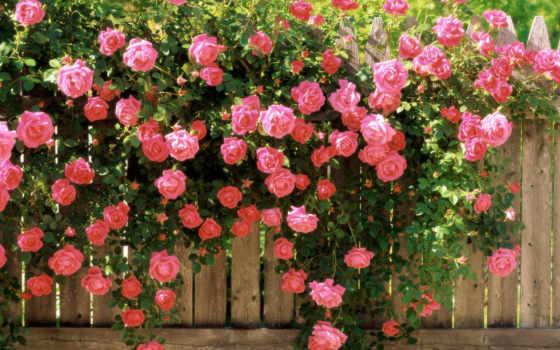 розы, куст, роз