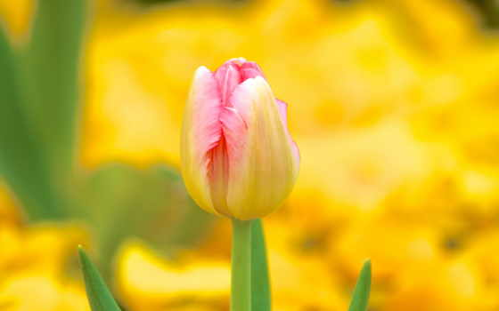 тюльпан, you, цветы