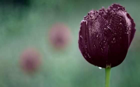 cvety, природа, капли, тюльпан, ромашки, категории, красивые, zhivotnye, lily, фоны, природы,