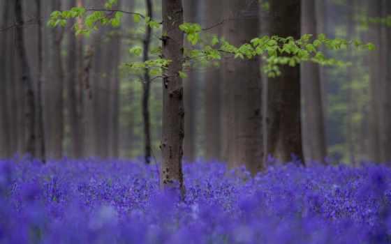 весенние, красивейшие, harangvirág, весна, virágmező, trees, сиреневые, лес, cvety, цитата,