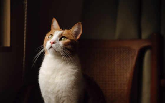 кот, смотрит, свет, сидит, white, окрас, взгляд, зеленые, чёрно, стуле,