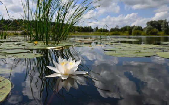 кувшинка, пруд, листва, water, вышивки, пруду, кувшинки, swamp, lily, водяная,