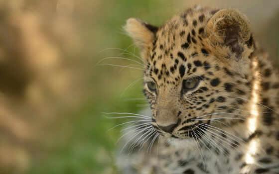 леопард, amur, фон
