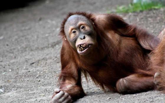 видов, orangutans
