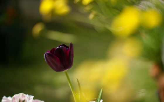 тюльпан, макро, цветы, desktop, tulips, photography, природа, flowers,