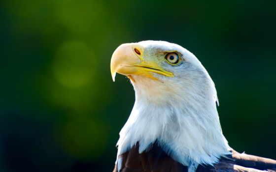 орлан, птица, птицы, проекта, creator,