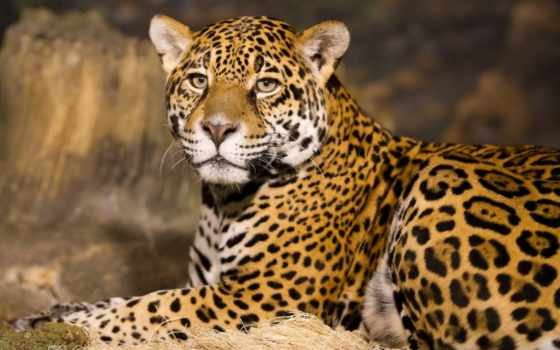 leopard, download, desktop