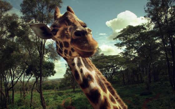 жираф, жирафы, животные