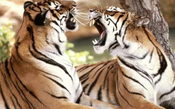 тигр, тигров, love