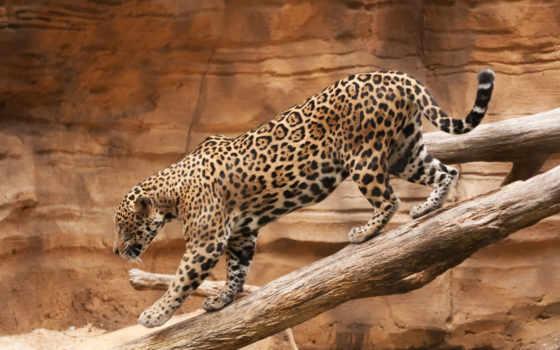 taustapildid, tasuta, леопарды,