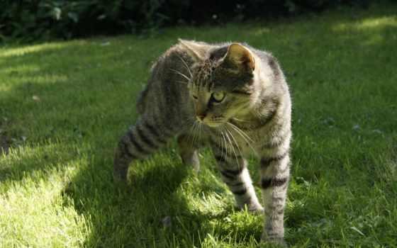 серая, трава, кот, pictures, тема, comments, downloads,