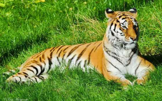 тигр, отдых Фон № 19358 разрешение 1920x1200
