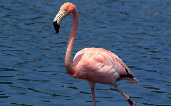 фламинго, phoenicopteridae, животных