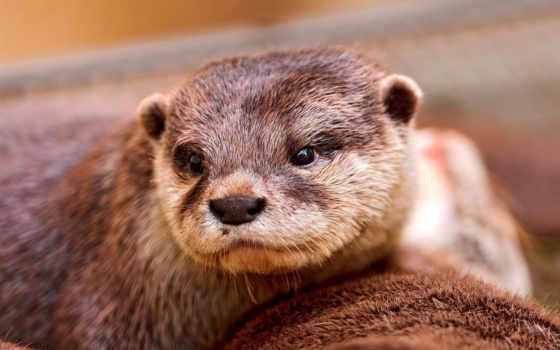 otter, морда, взгляд