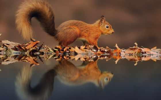 отражение, воде, белки, water, листва, белки, tail, озеро,