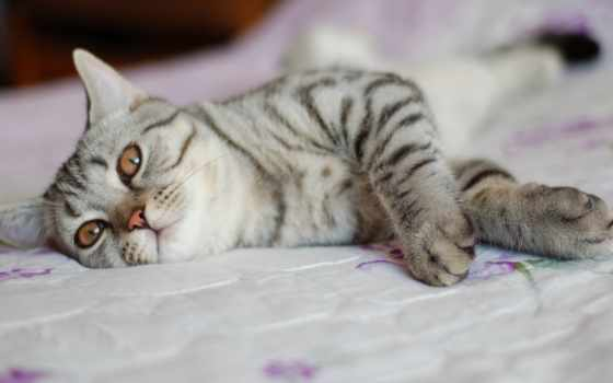 кошки, полоску, кошек, кот, серая, коты, бесплатные,
