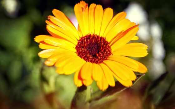 cvety, подсолнух, цветы