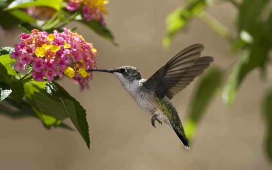 колибри, птица, цветы