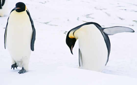 zhivotnye, арктики, пингвины