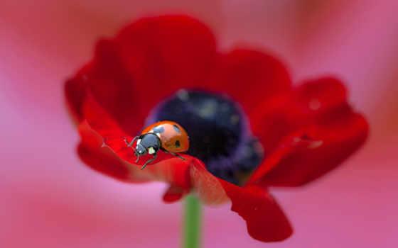 макро, божья, коровка, цветы, poppy, ladybug, мака,