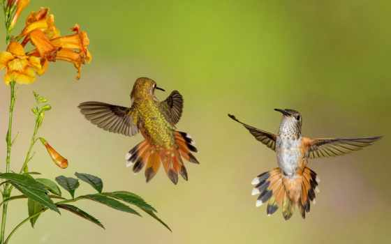 tapety, колибри, pulpit, koliber, цветы,