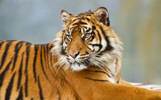 тигр, mobile, телефон, zhivotnye, sumatran, sale,