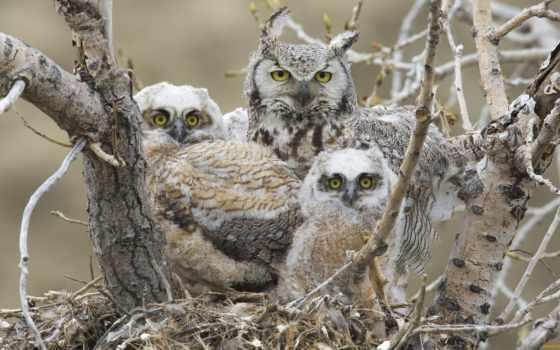 птенцы, nest, птицы, сова, лебедь, листва, забота, рогатая, большая, совы, картинка,