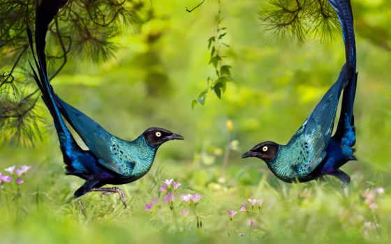 starling, long, glossy