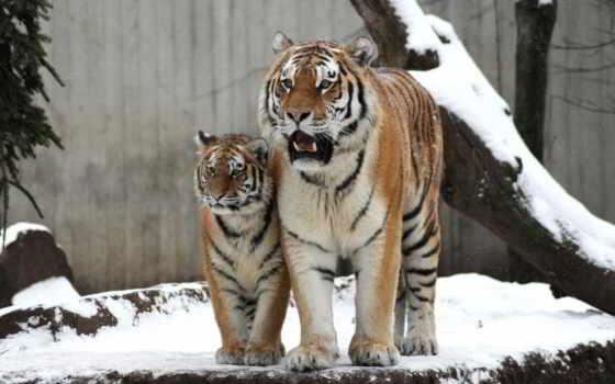 тигры, дикие, pair, кошки, детёныш, тигрица, семья, мама,