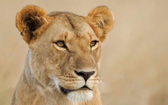 lions, женский, серьги