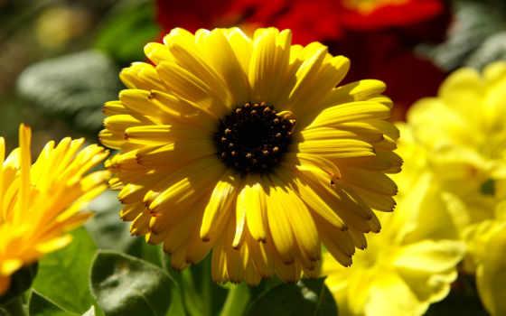 бархатцы, календула, вазон, цветы, yellow,