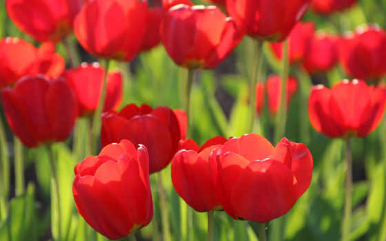 cvety, весна, тюльпан, favourite,