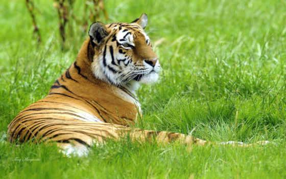 тигр, трава Фон № 19403 разрешение 1920x1200