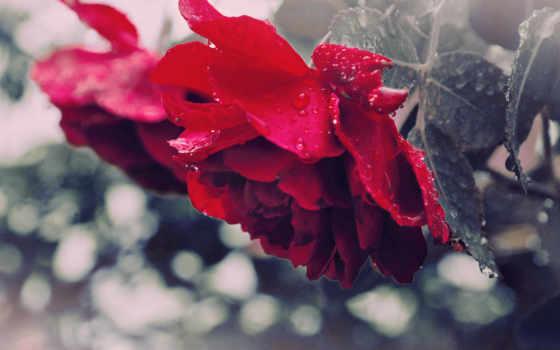 цветы, красавица, роза