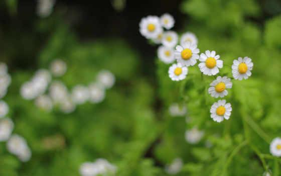 flowers, цветы, desktop