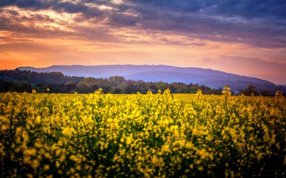 rapeseed, поле, природа, příroda, free, рапс,
