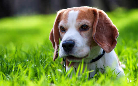 beagle, cute, щенок,