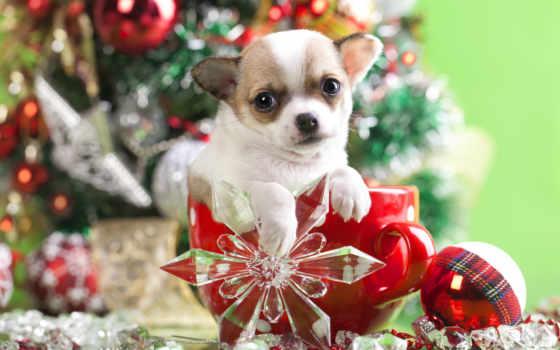 чихуахуа, ши, щенок, собака, new, год, тцу, бесплатные, малыш, песик, елки,