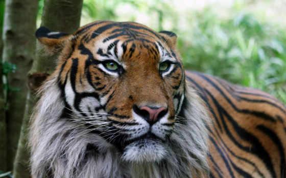 тигра, interiel, главное, функцией, полос, является, маскировка, хищника, тигр, тигры,