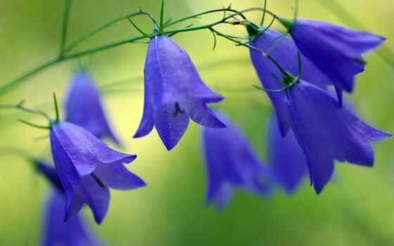 цветы, bell, blue, поле, растение, природа, color, красавица, summer, валерий