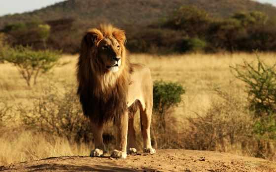 lion, zhivotnye, фотообои