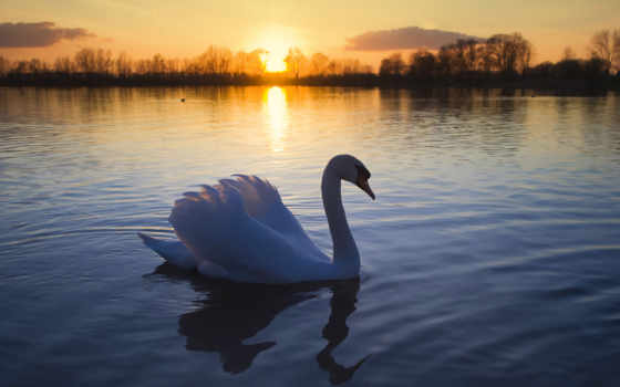 лебедь, озеро, птица