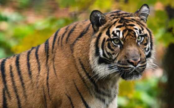 samsing, кот, морда, первую, ultra, resolution, desktop, взгляд, тигр