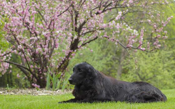 animales, frases, газон, Сакура, con, bonitas, imagenes, собака, para, retriever,