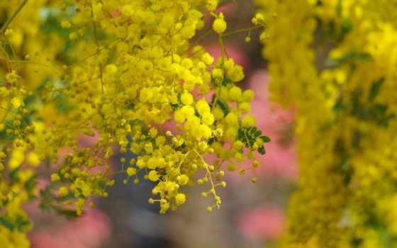 cvety, acacia, весна, страница, mimosa,