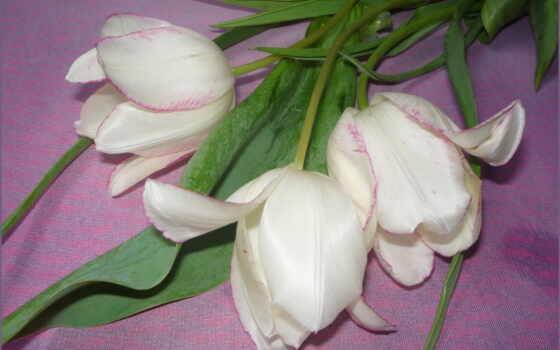 тюльпаны, цветы, white