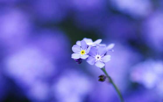 цветы, макро, незабудки