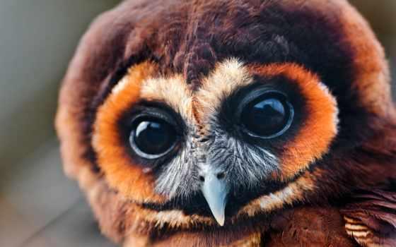 сова, птица, глаза