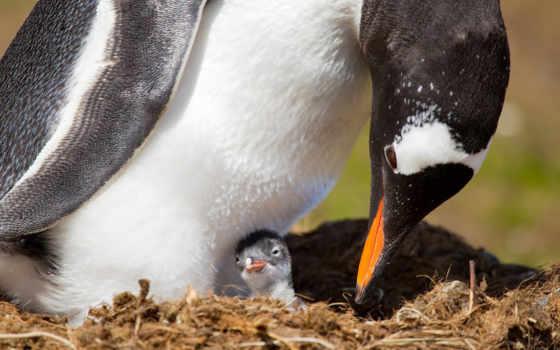 nest, цыпочка, детёныш, пингвин, пингвины, national, geographic, пингвина, которому, антарктиде, несколько,